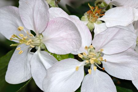 Macro of the stamin & petals of apple blossoms. I love the detail in this shot!