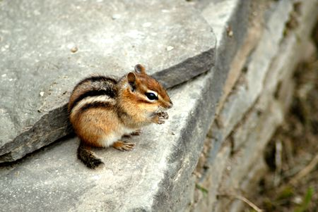 A cute little chipmunk sits on a rock wall, nibbling on a blade of grass.