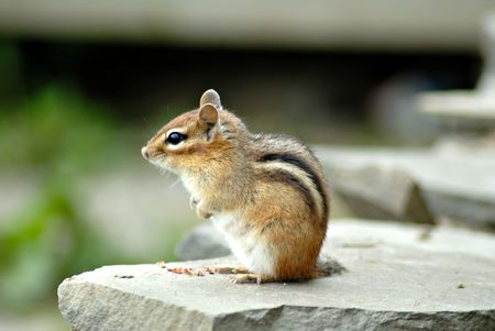 A cute little chipmunk sits on a rock wall, sunning himself.