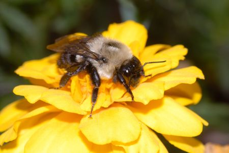 A bumble bee searches for pollen on a golden flower