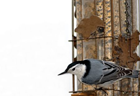 A nuthatch pauses momentarily on the side of a bird feeder.