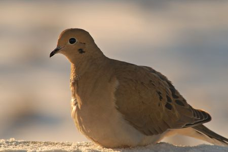 A morning dove warms up in the early morning light.