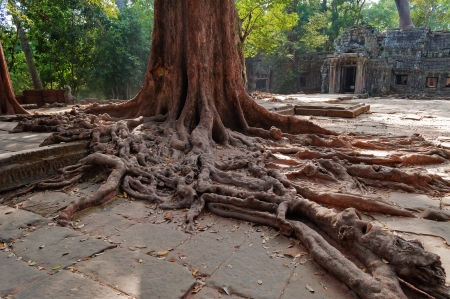 Tree roots in Ta Prohm Temple  Angkor  Cambodia photo