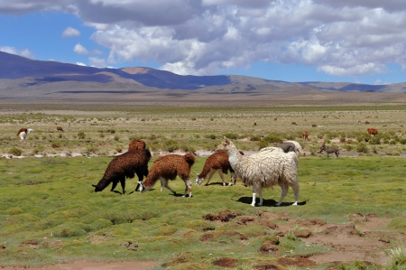 Vicunas on Andes in Salta Province  Argentina photo