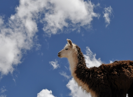 vicuna: Vicuna on Andes in Salta Province  Argentina