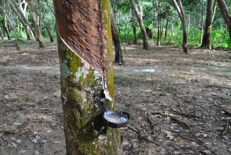 tapper: Tapping latex from a rubber tree  Bukit Lawang  Indonesia