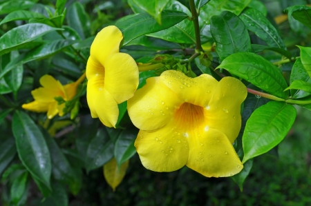 Allamanda, also known as Yellow Bell, Golden Trumpet or Buttercup Flower photo