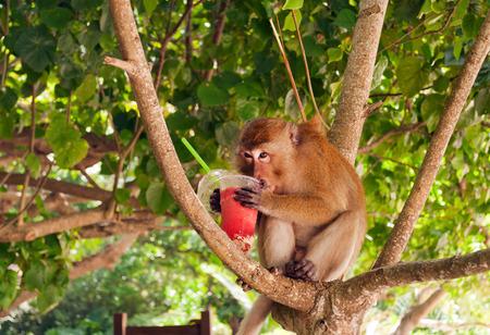 robo: Mono que come la fresa batido en la playa de Railay. La provincia de Krabi. Tailandia. Mono rob� a turistas