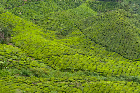 highlands region: Tea plantation. Cameron Highlands. Malaysia