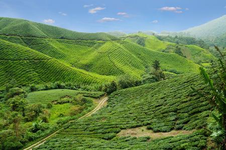 pahang: Tea plantation. Cameron Highlands. Malaysia