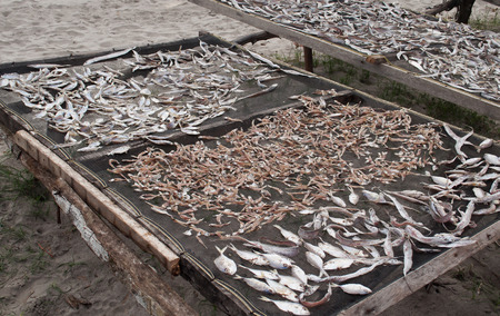 Fish drying on Tiku beach. Sumatra. Indonesia photo