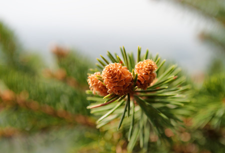 Coniferous tree branch with young shoots photo