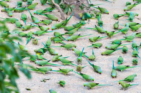 ashram: Parrots peck grain on the ground in the ashram
