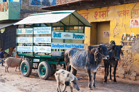 bullock: VRINDAVAN, INDIA - DEC 15, 2014:  School bus is bullock cart with schoolchildren on the road. Vrindavan is considered to be a holy place. The major tradition followed in the area is Vaisnavism. It is the place where Krishna spent his childhood days. Editorial