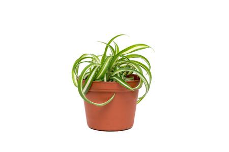 Kleine Chlorophytum in bloempot op een witte achtergrond Stockfoto