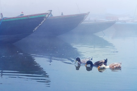 uttar: Ducks near boats on sacred river Ganges at cold foggy winter morning. Varanasi. Uttar Pradesh, India