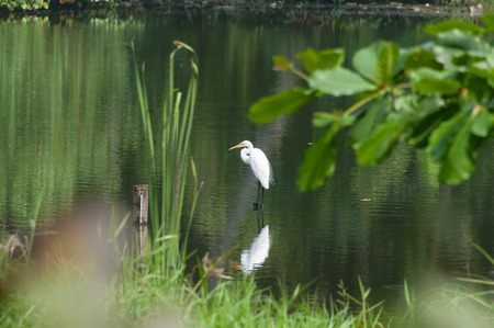 kovalam: White Egret in water on the lake. Kovalam. Kerala. India Stock Photo