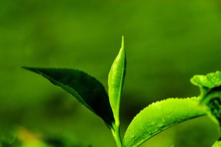 munnar: Tea leaf on green background in Munnar. Kerala. India