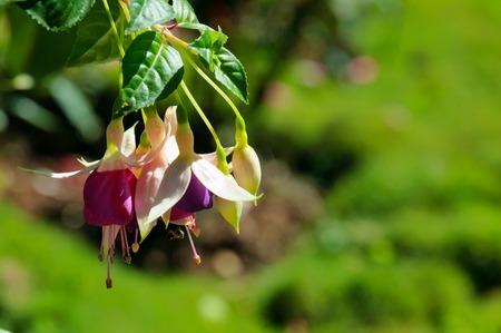 fuchsia: Fuchsia flower in the garden on green background