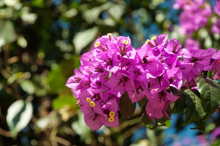 munnar: Branch of bougainvillea flowers in park. Munnar. India Stock Photo