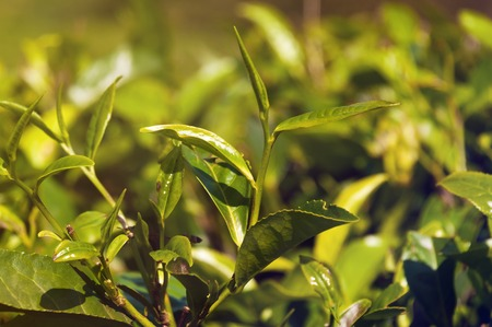 munnar: Tea leaves on green background in Munnar. Kerala. India Stock Photo