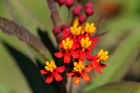 Asclepias curassavica flower or Scarlet milkweed in the garden on green background