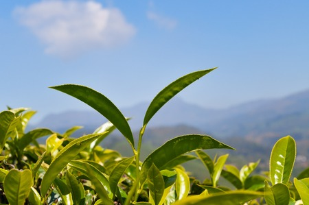 munnar: Tea leaves on blue sky background in Munnar. Kerala. India