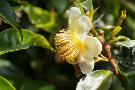 Bloemen thee, witte Camellia sinensis bloem op de thee plantage in Munnar. Kerala. Indië