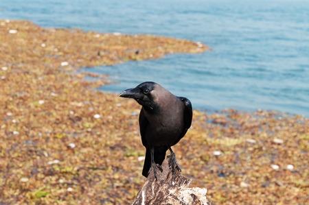 kochi: Crow on the beach of Fort Kochi. Kerala. India