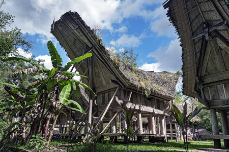 toraja: Tongkonan traditional old houses in  Buntu Pune village. Tana Toraja, Sulawesi. Indonesia