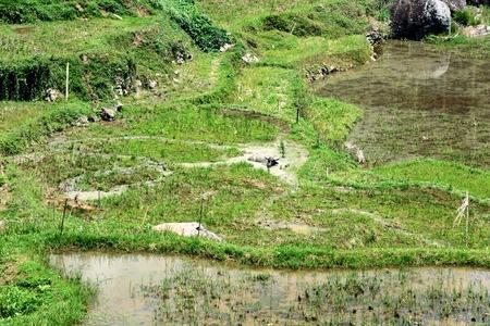toraja: Green rice field terraces in Tana Toraja. South Sulawesi, Indonesia Stock Photo