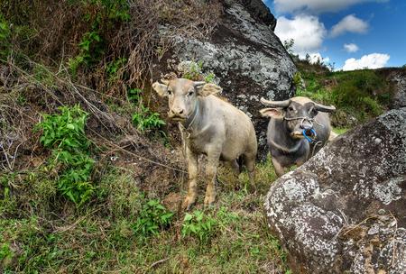 toraja: Two buffalo rice field in Tana Toraja in Tana Toraja. Sulawesi. Indonesia