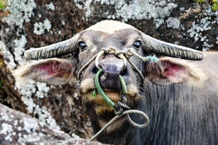 sulawesi: Head of buffalo in Tana Toraja. Sulawesi. Indonesia