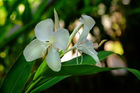 Biały kwiat lilii imbir w ogrodzie. Koronarium Hedychium