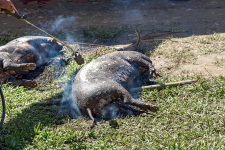 pig skin: Burning skin slaughtered pig in the funeral ceremony. In Toraja the funeral ritual is the most elaborate and expensive even. Tana Toraja. South Sulawesi, Indonesia Stock Photo