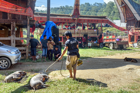 pig skin: Tana Toraja, Indonesia - Dec 10, 2015: Man burning skin slaughtered pig in the funeral ceremony. In Toraja the funeral ritual is the most elaborate and expensive even. Tana Toraja. South Sulawesi, Indonesia