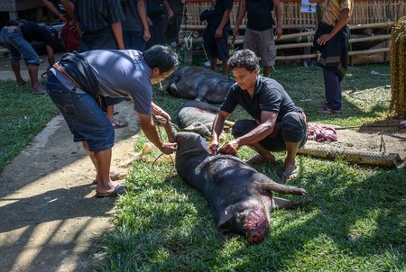 entrails: Tana Toraja, Indonesia - Dec 10, 2015: Men cut pig slaughtered and pull out entrails in the funeral ceremony.  In Toraja the funeral ritual is the most elaborate and expensive even. South Sulawesi
