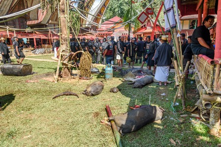 toraja: Tana Toraja, Indonesia - Dec 10, 2015: Pigs slaughtered in the funeral ceremony. In Toraja the funeral ritual is the most elaborate and expensive even. Tana Toraja. South Sulawesi, Indonesia