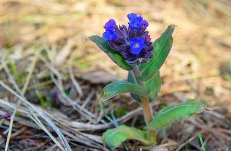 pulmonaria: Pulmonaria or Lungwort with blue flowers in the forest on spring