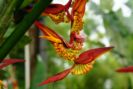 heliconia: Heliconia flowers in the rainforest