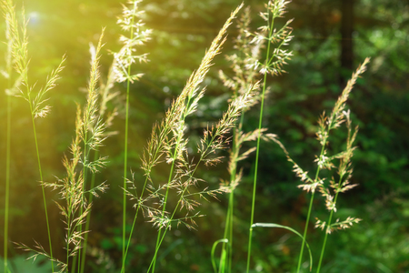 inflorescence: Inflorescence of meadow grass on sun in the forest. Soft selective focus. Background