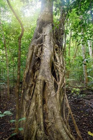 Giant ficus tree in Tangkoko National Park. Tarsier tree. North Sulawesi. Indonesia