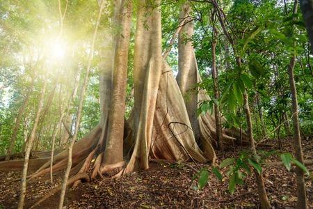 Reuzefluitenboom in Nationaal Park Tangkoko. Noord-Sulawesi. Indonesië