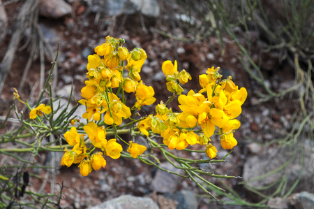 Yellow wildflowers in desert. Cuesta de Miranda. La Rioja. North Argentina Stock Photo