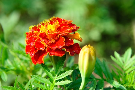 tagetes: Marigolds flower, Tagetes with drops in the garden in summer