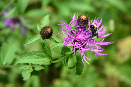 centaurea: Centaurea jacea flower with bumblebee in the forest. On green backgrouns