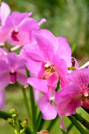 Pink Vanda orchids flower in the garden on green background