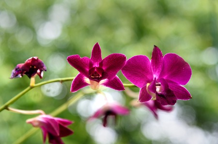 small purple flower: Small purple orchids flower in the garden on green background