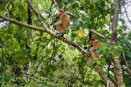 long nose: Proboscis Monkey with long nose in Bako National Park, Sarawak. Borneo. Malaysia