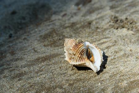 Shell with hermit crab on sand. Tajor beach in Bako National Park, Sarawak. Borneo. Malaysia. Selective focus